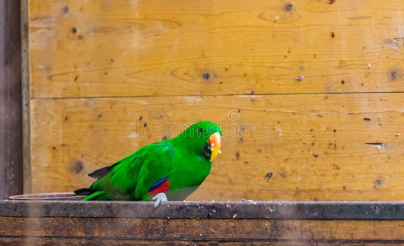 Os polychloros verdes do roratus de Eclectus do nome do latino do pássaro do papagaio na mesa de madeira Vida colorida do pássaro foto de stock royalty free