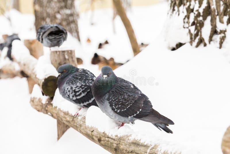 Os pombos sentam-se em uma cerca de madeira no parque da cidade Dia de inverno, neve imagens de stock