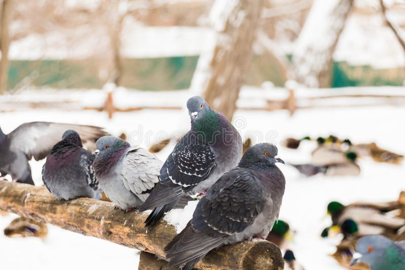 Os pombos sentam-se em uma cerca de madeira no parque da cidade Dia de inverno, neve No fundo é o pato do pato selvagem imagem de stock