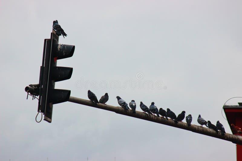 Os pombos sentam-se em uma lanterna em um ambiente urbano cidade do pássaro, uma família dos pombos Caça para o alimento fotos de stock royalty free