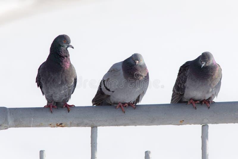Os pombos sentam-se na cerca fotos de stock