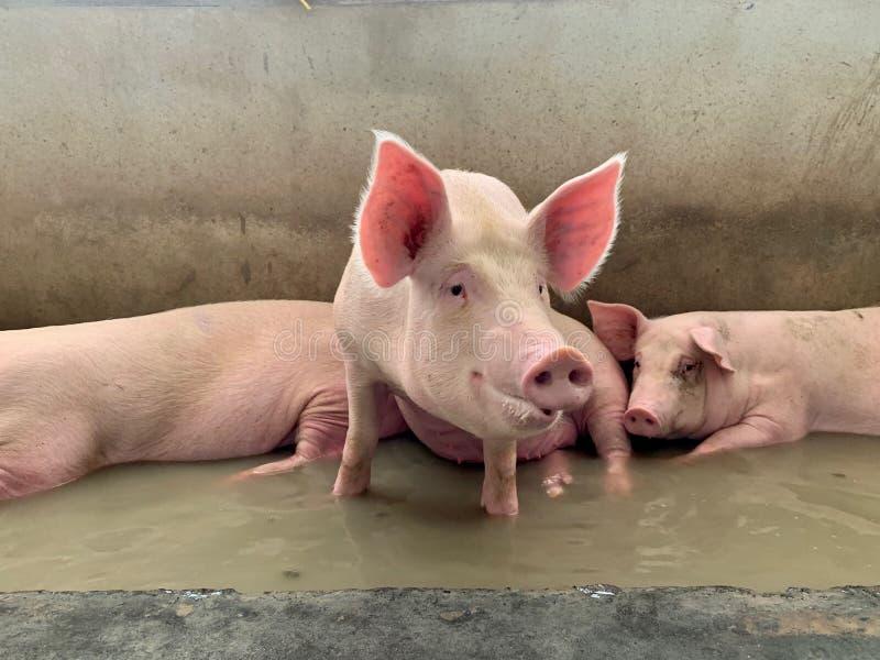 Os porcos de engorda relaxam na água contra o tempo quente imagens de stock royalty free