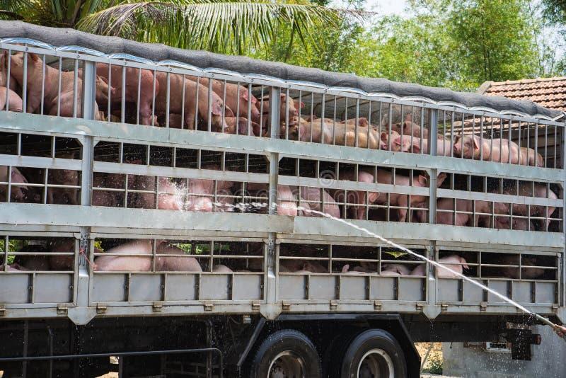 Os porcos para o alimento no caminhão estão tendo o banho para evitar o quente durante o transporte na autoestrada nacional 1A na foto de stock royalty free