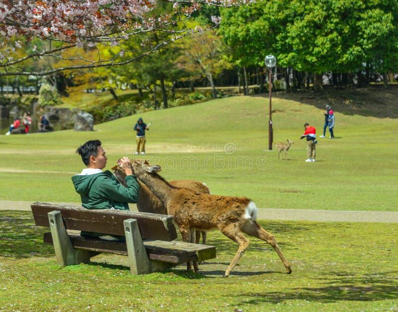 Os povos alimentam os cervos sagrados em Nara Park fotos de stock