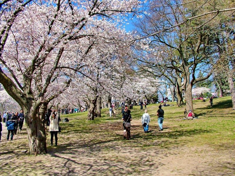 Os povos apreciam as flores de cerejeira da mola no ` s de Toronto, parque alto fotos de stock royalty free