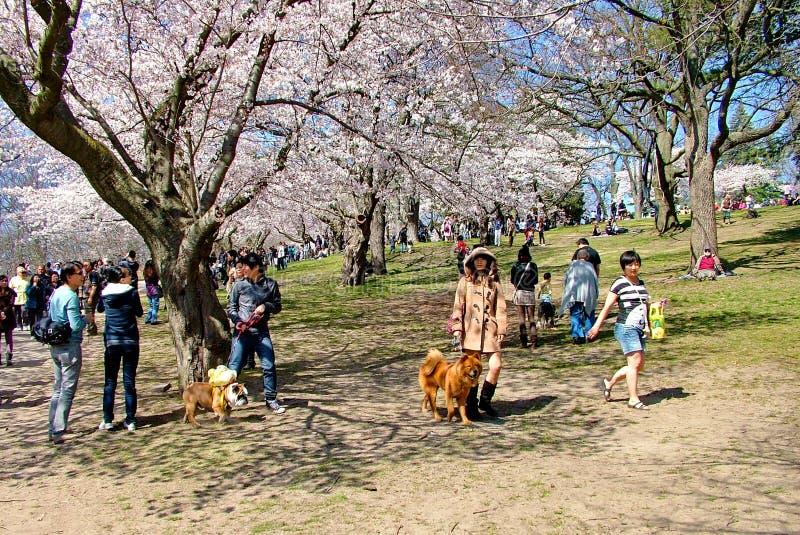 Os povos apreciam as flores de cerejeira da mola no ` s de Toronto, parque alto imagem de stock