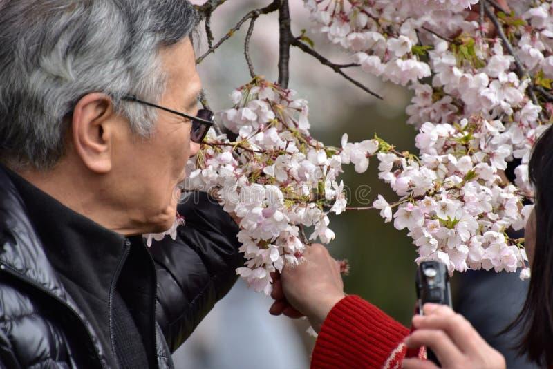 Os povos estão puxando os ramos de florescência para eles fotos de stock