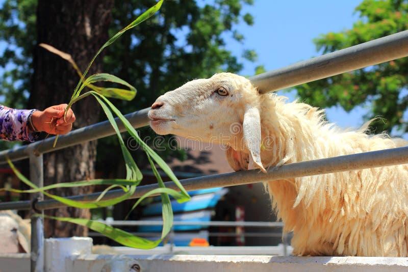 Os povos têm a mercê aos carneiros, jovem mulher caucasiano com felicidade aos carneiros de alimentação que mastigam a grama na e imagens de stock