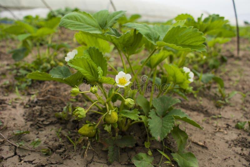 Os primeiros frutos das morangos O jardim para seus direito e h fotos de stock