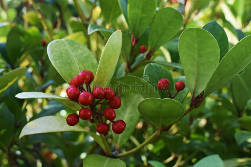 Os procumbens do Gaultheria, igualmente chamados o teaberry oriental, o checkerberry, o boxberry, ou o americano wintergreen imagens de stock
