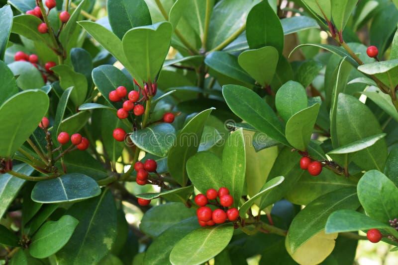 Os procumbens do Gaultheria, igualmente chamados o teaberry oriental, o checkerberry, o boxberry, ou o americano wintergreen imagem de stock