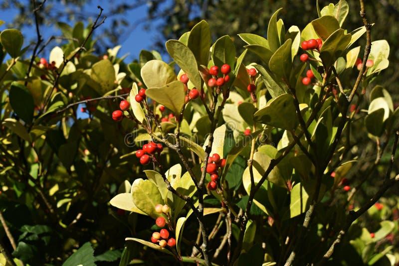 Os procumbens do Gaultheria, igualmente chamados o teaberry oriental, o checkerberry, o boxberry, ou o americano wintergreen fotografia de stock