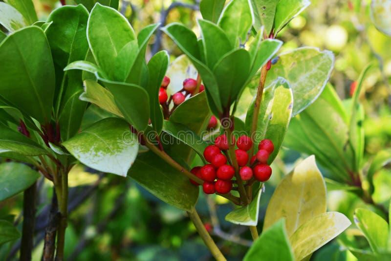 Os procumbens do Gaultheria, igualmente chamados o teaberry oriental, o checkerberry, o boxberry, ou o americano wintergreen imagens de stock royalty free