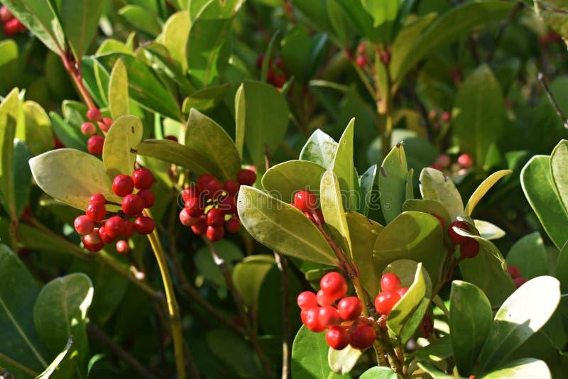 Os procumbens do Gaultheria, igualmente chamados o teaberry oriental, o checkerberry, o boxberry, ou o americano wintergreen imagem de stock royalty free