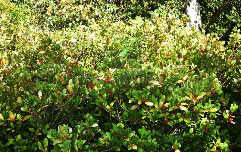Os procumbens do Gaultheria, igualmente chamados o teaberry oriental, o checkerberry, o boxberry, ou o americano wintergreen fotos de stock royalty free
