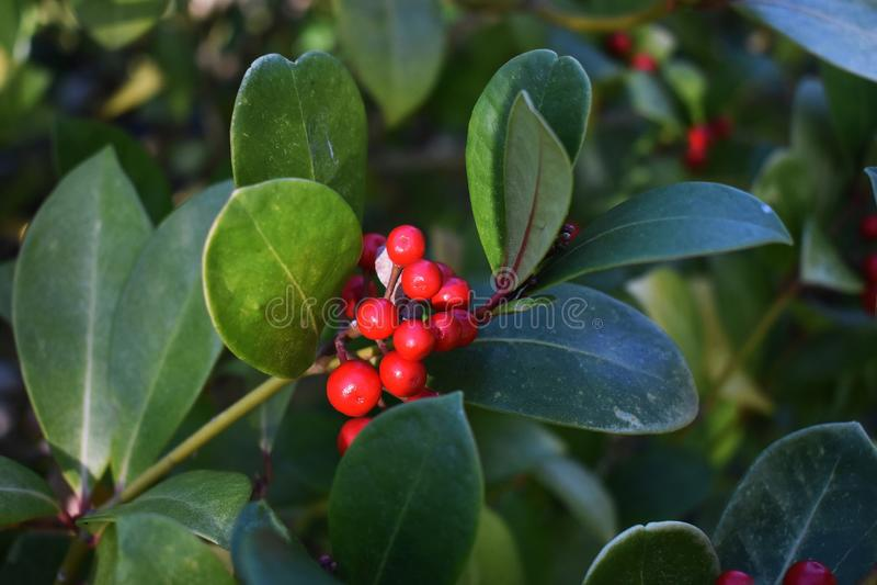 Os procumbens do Gaultheria, igualmente chamados o teaberry oriental, o checkerberry, o boxberry, ou o americano wintergreen fotos de stock