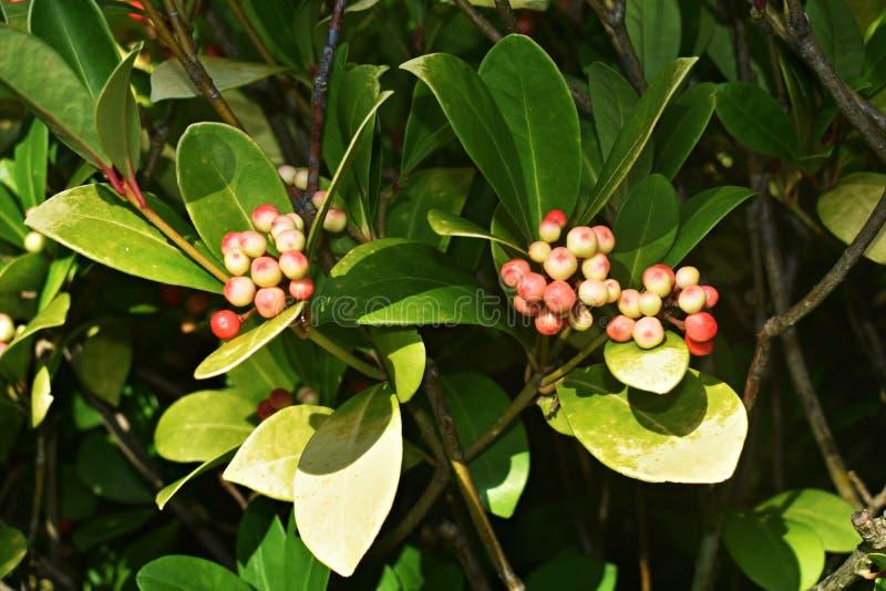 Os procumbens do Gaultheria, igualmente chamados o teaberry oriental, o checkerberry, o boxberry, ou o americano wintergreen fotografia de stock royalty free