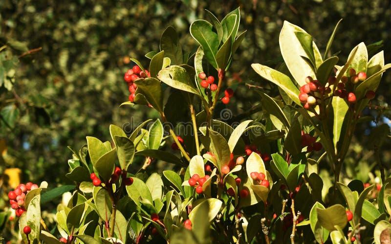 Os procumbens do Gaultheria, igualmente chamados o teaberry oriental, o checkerberry, o boxberry, ou o americano wintergreen foto de stock