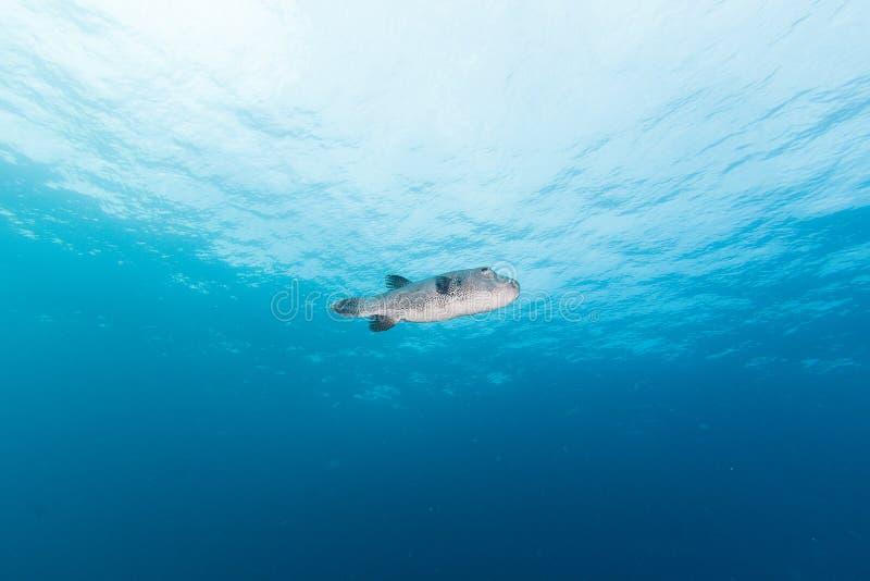 Os Pufferfish gigantes fotos de stock