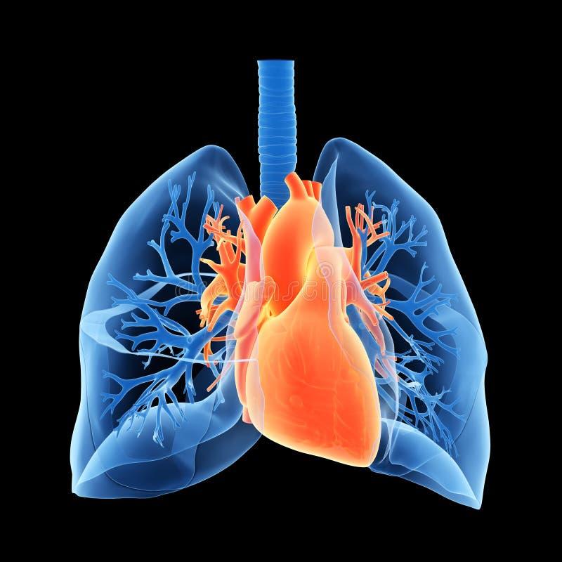 Os pulmões e o coração ilustração stock