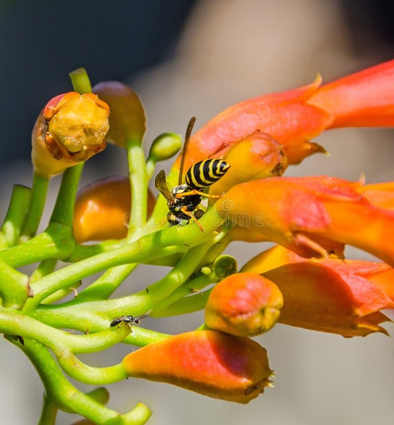 Os radicans vermelhos, alaranjados de Campsis florescem com a abelha, a videira de trombeta ou a trepadeira de trombeta, igualmen imagem de stock
