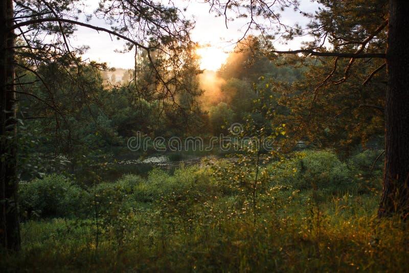 Os raios alaranjados do por do sol no brilho da floresta através dos ramos do pinho fotos de stock royalty free