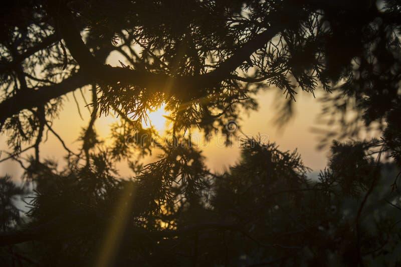 Os raios do sol através dos ramos do zimbro fotos de stock royalty free