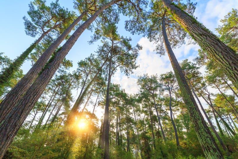 Os raios do sol fazem sua maneira através dos troncos de pinheiros altos na floresta imagem de stock royalty free