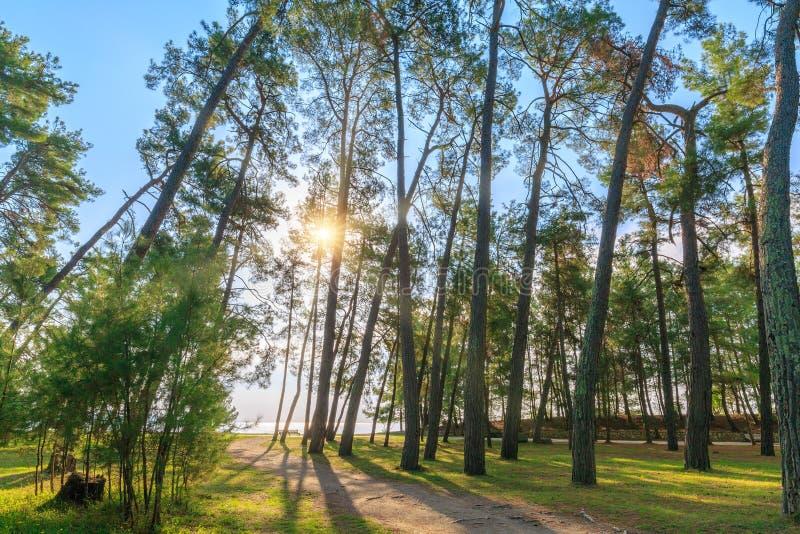 Os raios do sol fazem sua maneira através dos troncos dos pinhos altos que crescem no litoral fotos de stock