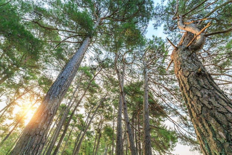 Os raios do sol iluminam os troncos de pinheiros altos na floresta imagem de stock royalty free