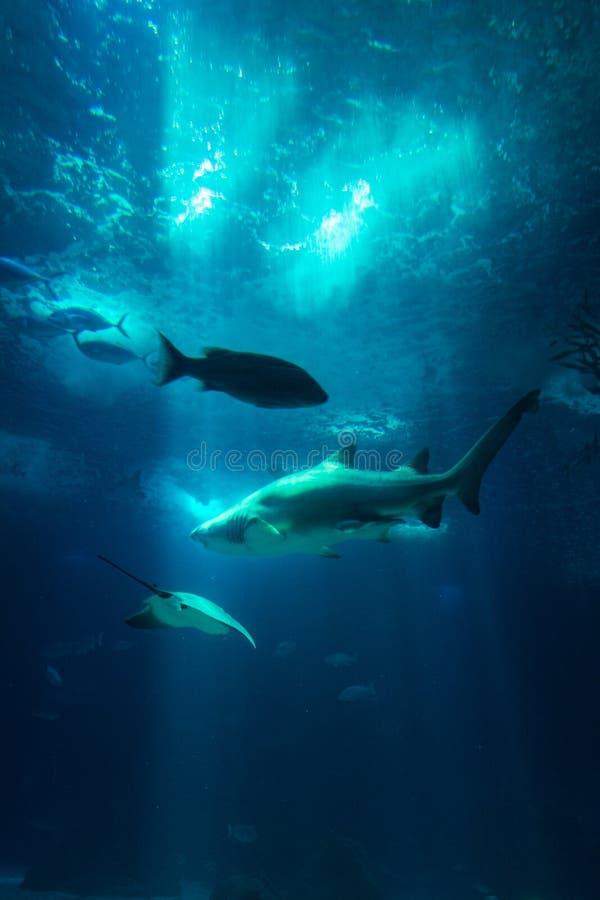 Os raios subaquáticos de Sun do tubarão dos peixes da opinião do aquário através da água vão faz4e-lo imagens de stock royalty free