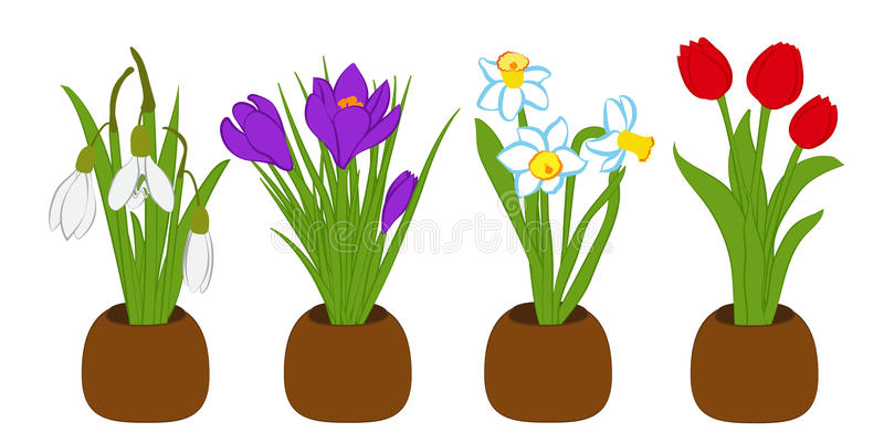 Os ramalhetes ajustaram-se do snowdrop, do narciso e do açafrão da mola em uns potenciômetros de flor isolados no branco Ilustraç ilustração stock
