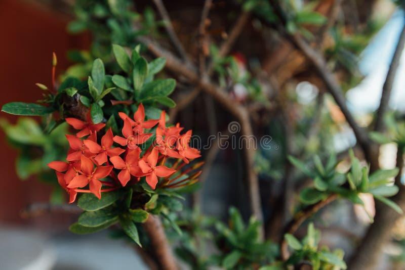 Os ramos com as flores tailandesas vermelhas, pequenas, árvores, fim acima, surpreender, bonita, mola florescem, fundo verde, flo fotos de stock