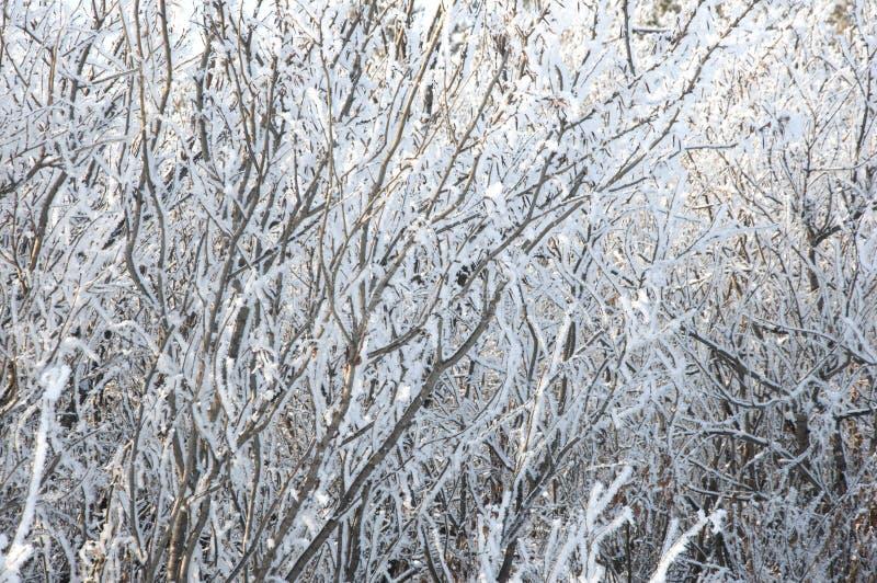 Os ramos congelados fundo do inverno foto de stock