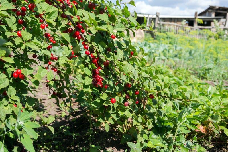 Os ramos da árvore de cereja dobraram-se para baixo da gravidade do fruto da cereja no jardim imagens de stock