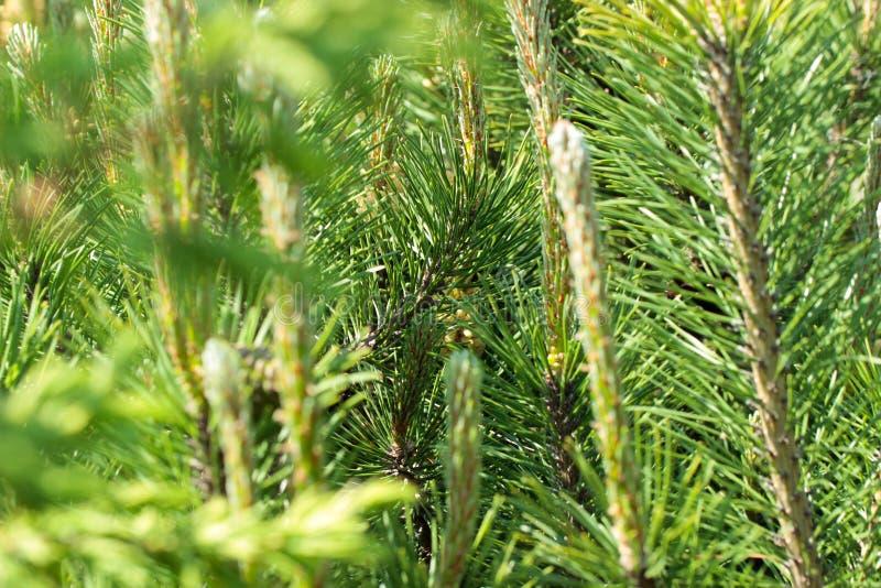 Os ramos da madeira conífera, close up Tiros novos Fundo verde da floresta Foco macio fotografia de stock