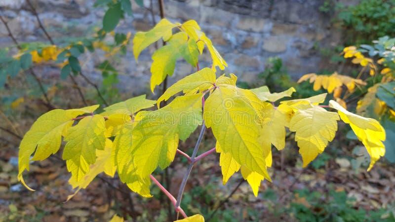 Os ramos da queda amarela vívida deixam o close up com a folha verde imagem de stock