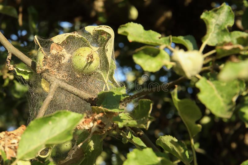 Os ramos das árvores do aplle na Web da doença A epidemia da toupeira do arminho foto de stock