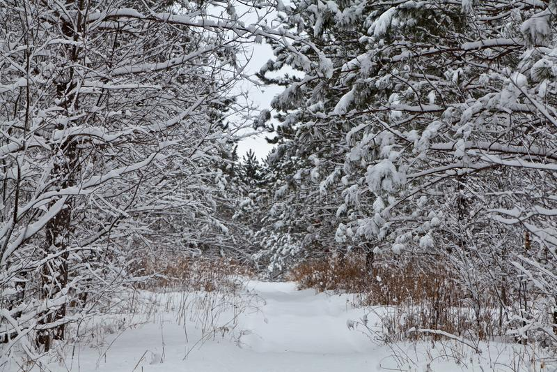 Os ramos de árvore dobram-se sob a carga pesada da neve fresca imagem de stock royalty free