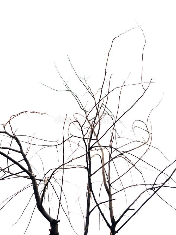 Os ramos de árvore secos isolaram-se fotografia de stock