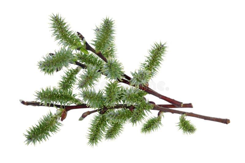 Os ramos de abril da mola com os botões verdes da árvore de salgueiro selvagem isolaram branco fotos de stock royalty free