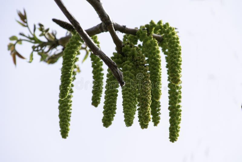 Os ramos de florescência de uma noz no jardim na mola, brincos da noz oscilam dos ramos contra o céu fotografia de stock