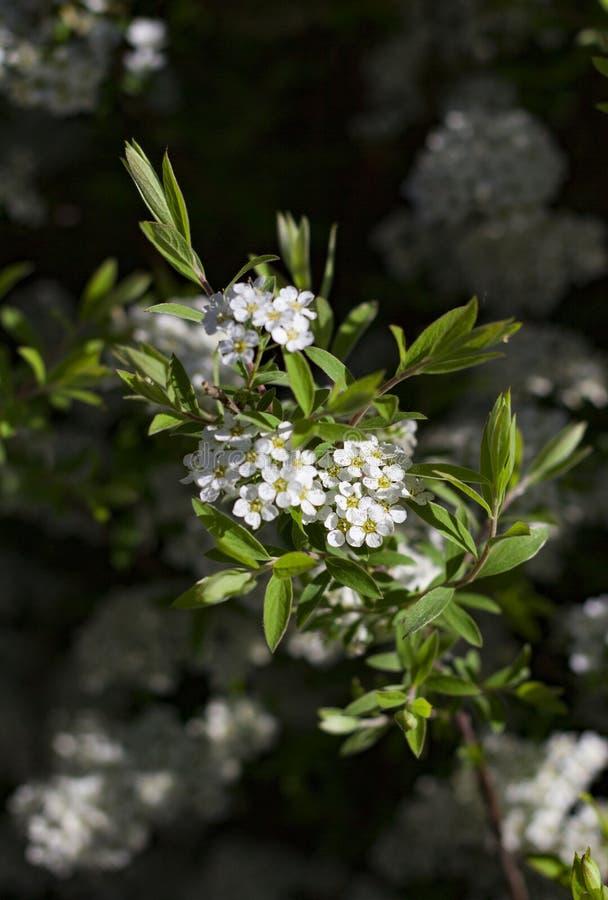 Os ramos de floresc?ncia da cereja iluminados pelo sol em um dia de ver?o na floresta imagem de stock royalty free