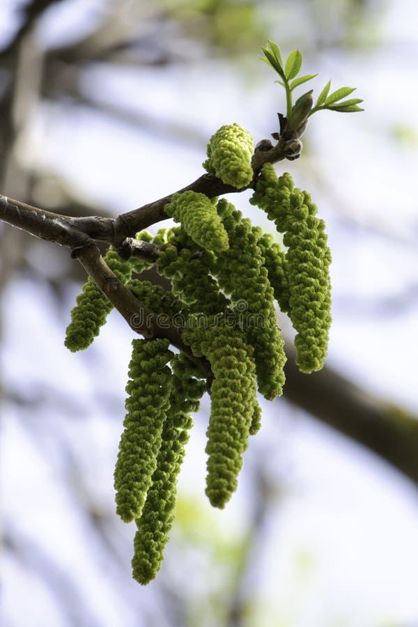 Os ramos de floresc?ncia de uma noz no jardim na mola, brincos da noz oscilam dos ramos contra o c?u fotos de stock