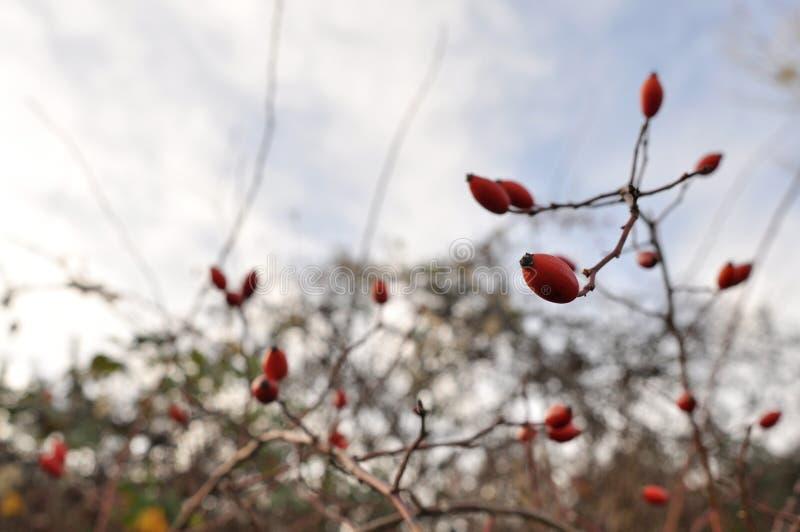 Os ramos de selvagem aumentaram fotografia de stock royalty free