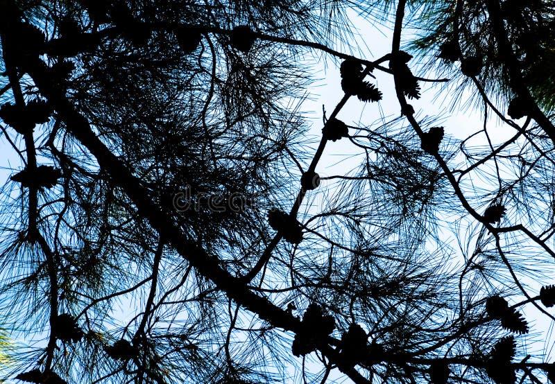 Os ramos de um pinho com os cones contra o céu fotos de stock royalty free