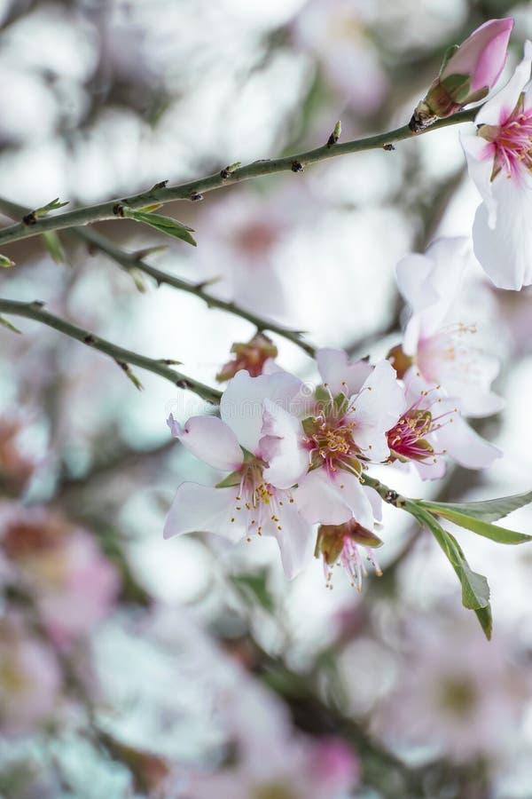 Os ramos de uma árvore de amêndoa belamente de florescência Flores brancas do close-up com estames e as folhas amarelos Fundo flo fotografia de stock
