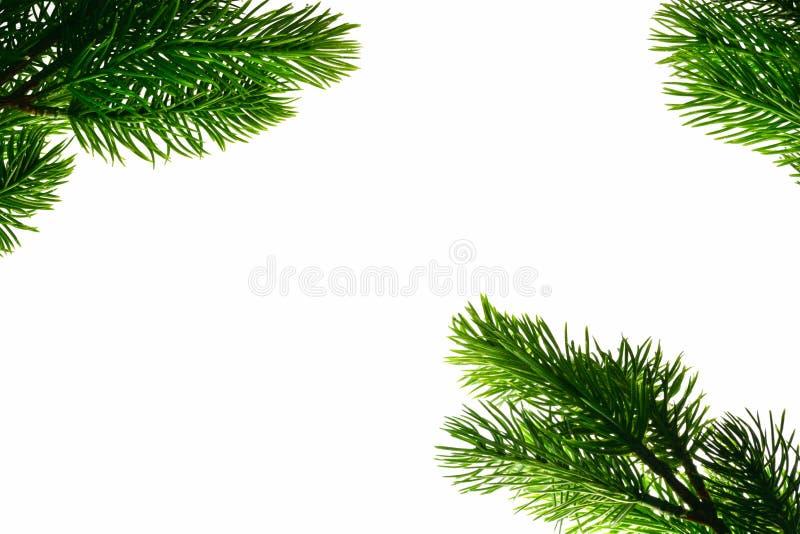 Os ramos de uma árvore conífera encontram-se em torno de um fundo isolado branco fotos de stock royalty free
