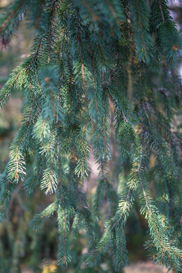 Os ramos do boro/pinho naturais fotos de stock royalty free