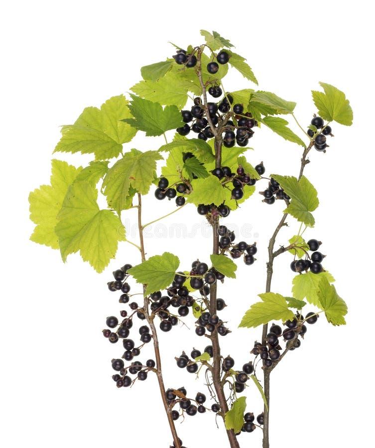 Os ramos do corinto preto do jardim com folhas e bagas imagem de stock